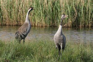 Grus grus, the Common Crane, at Horsey