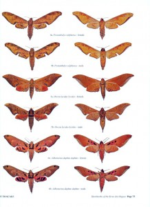 A Guide to the Hawkmoths of the Serra dos Orgaos, South-eastern Brazil - internal image