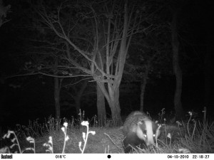 Badger - taken with Bushnell XLT Trophy Cam Trail Camera by Nick Baker, 2011