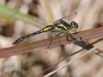 Black Darter, Thursley