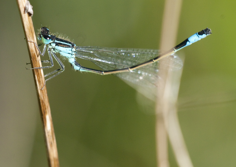Blue-tailed Damselfly, Sevenoaks Wildlife Reserve
