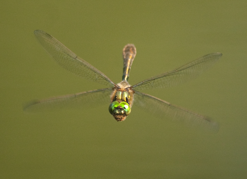Downy Emerald 2, Sevenoaks Wildlife Reserve