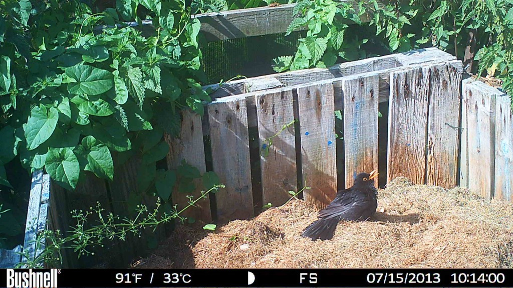 Blackbird - taken by Professor Graham Martin with a Bushnell X-8 trail camera