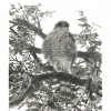 A Sparrowhawk's Lament jacket image