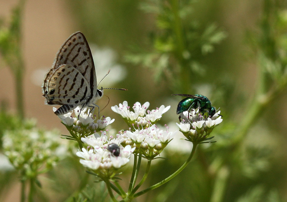Cuckoo wasp and lycaenid butterfly on coriander flowers in Turkana, Northern Kenya – photo credit: Dino Martins
