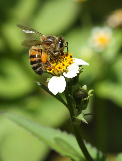 Honeybee on the blackjack weed (Bidens pilosa) in the Kerio Valley Kenya - photo credit: Dino Martins