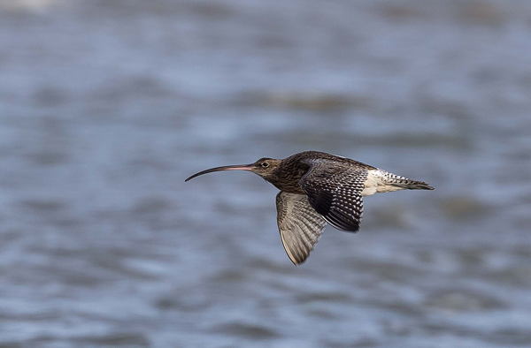 Curlew in flight by Smudge 3000 via Flickr under license CC BY-SA 2.0
