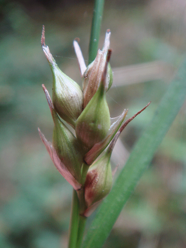 Large utricles (seeds) of Starved Wood-sedge (Carex depauperata) - photo credit: The Species Recovery Trust