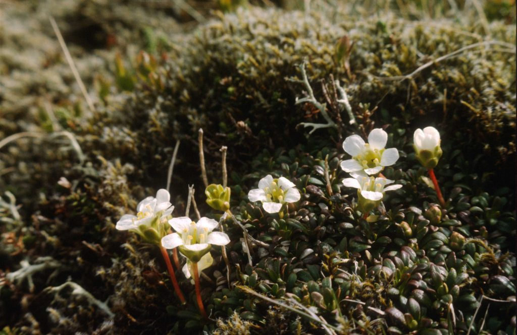 Diapensia on its remote hillside in the west Highlands of Scotland. Photo: Michael Scott
