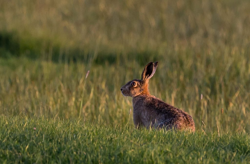Brown Hare by Sheppy 9000 via Flickr Creative Commons. National Mammal Week 2017.