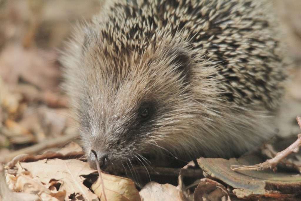 Hedgehog Facts and FAQs. Image by Milo Bostock.