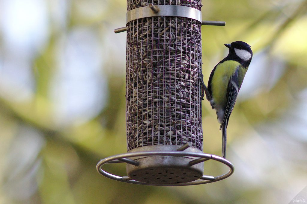 Great Tit by Jannis via Flickr (CC BY-SA 2.0)