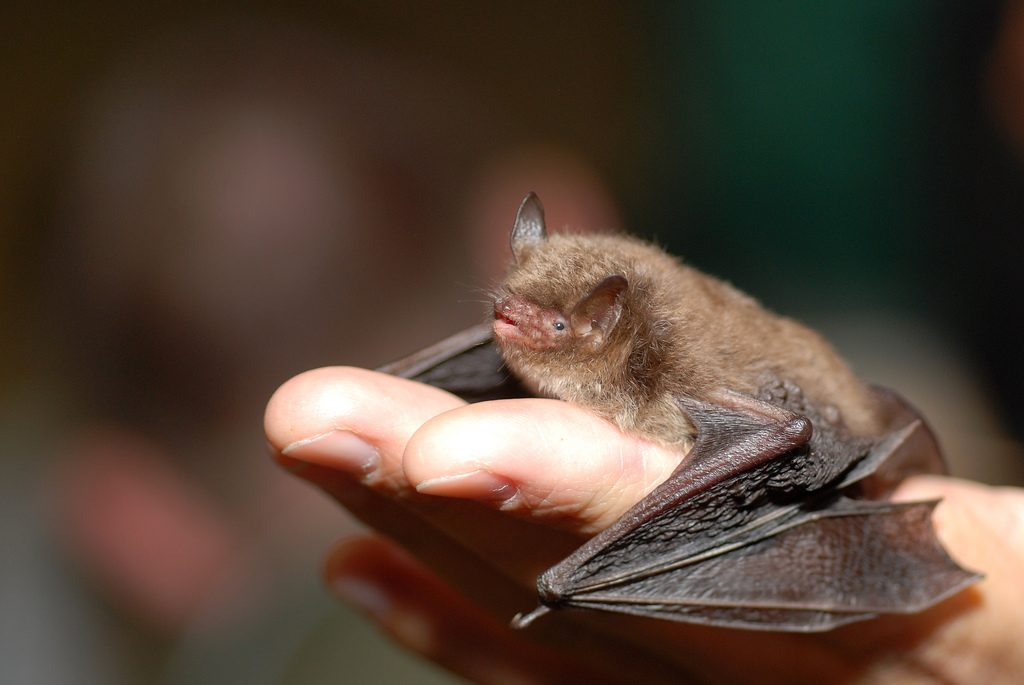A close-up of a Daubenton's bat. Image captured by Gilles San Martin via Flickr (CC BY 2.0).
