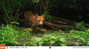 Red Fox Bushnell Trail Camera