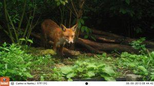 Red Fox Bushnell Trail Camera