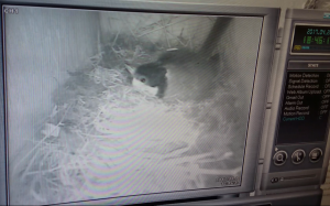 Watching Wildlife - Part 2 - Nest Box Cameras - Hoopoe - A blog by nhbs