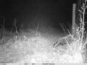 Badger photo Ltl Acorn Trail Camera