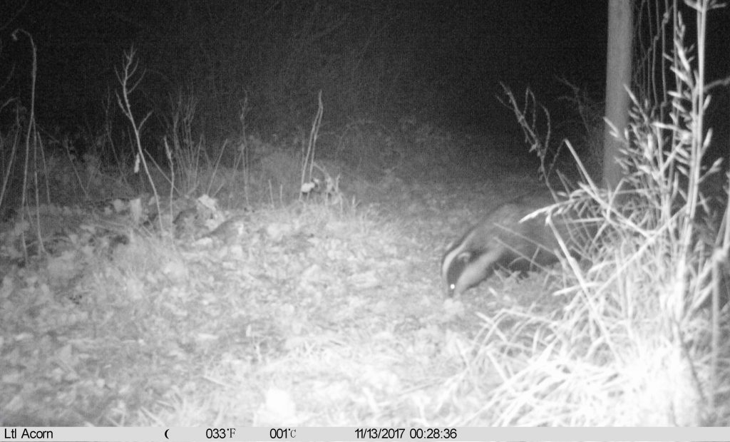 Badger photo Ltl Acorn Trail Camera