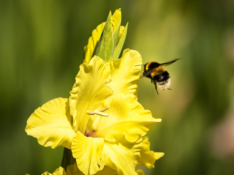 The NHBS Guide to UK Bumblebee Identification